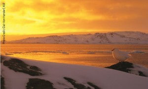 A Snowy Sheathbill at sunset near Palmer Station, Antarctica. Image credit: Clair Von Handorf, National Science Foundation